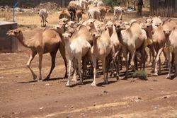 Herd of Camels along Roadside
