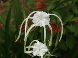Close-up spider lily