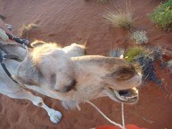 Sunrise camel ride at Ayers Rock (Uluru)