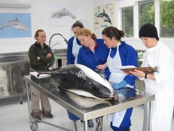 Processing of a rare Hourglass dolphin in the C-MRG necropsy lab