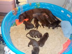 An exhausted Hope feeds her pups