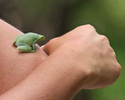 Hatchet-faced Tree Frog