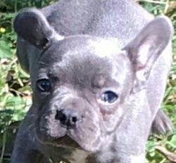 AKC BLUE Velvet MINI FRENCHIE, Female, ,French Bulldog Puppy.$5000.00