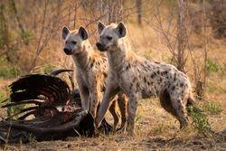 Hyena at Buffalo carcass