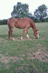 Ex Eventer grazing on the lush grass