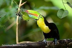 Keel-billed toucan - Ramphastos sulfuratus