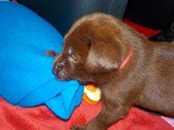 Miss Pink chews a blanket