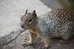Squirrel at Grand Canyon