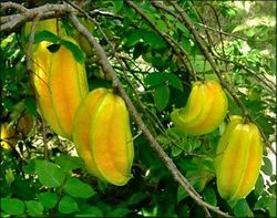 Five Fingers (Carambola)