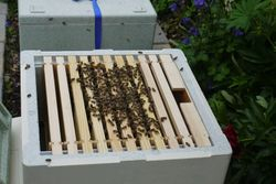 Transfering from travel box to hive