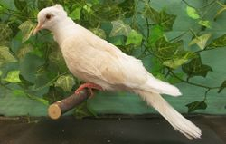 Apricot Crested Silky male