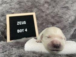 Zeus - Male - Beige Collar