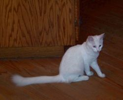 """""""Sugar"""" longhair Maine Coon white non-standard young mom"""