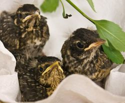 Three Baby Robins