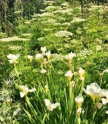 Selinum Wallichianum & Iris White Swirl