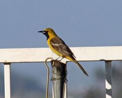Hooded Oriole (m)