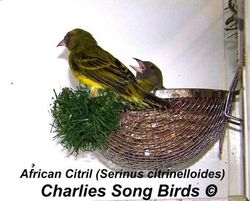 African Citril on nest