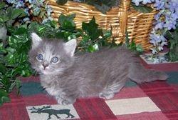 Mom Sissy's blue longhair Ragdoll Munchkin boy