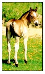 Johnny Come Lately- 2003 Percheron cross colt by Johnny Showtime