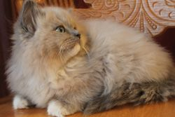 Blue Mitted Mink Baby