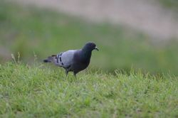 Rock Dove (FeralPigeon)  PIGEON BISET