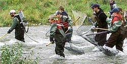 Chinook Salmon Re-stocking Program