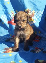 Barbie:  $1195, female Airedoodle, born on 4-21-17, pics on 5-24-17, Mother is a Giant Airedale, father is a Royal Standard Poodle
