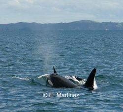 Killers whales (orca) in the Hauraki Gulf