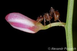 Ant on orchid, Lowland rainforest