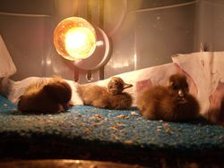 layin in the brooder