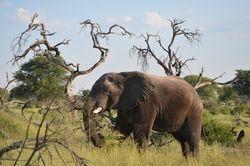 Elephant in Makgadikgadi