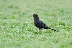 Blackbird (Merle noir)
