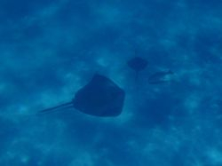Adult and baby Stingray at Sandy Cay