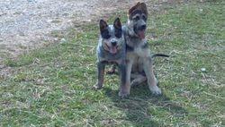 Grit and his German Shepherd buddy
