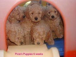 Pixie's mini Goldendoodle pups