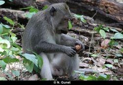 Hard-shelled fruit foraging (Teluk Terima)
