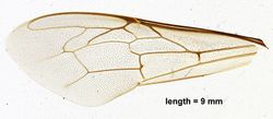 Fore wing
