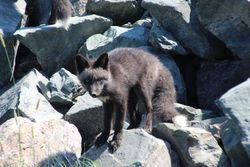 Silver fox cub at Cape Bonnavista