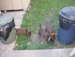 A Beavy of puppies investigate poo pail smells