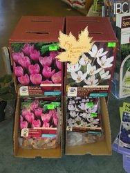 Fall Flowering Crocus, plant now, flower now!