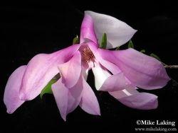 Magnolia Blossom - Macro