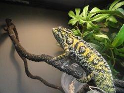A Female Carpet chameleon