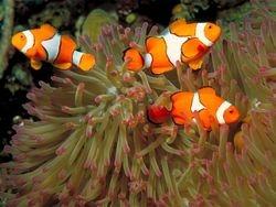 REEF CLOWN FISH
