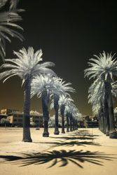 Palms at St Kilda