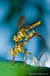 Toxotrypana curvicauda - Papaya fly