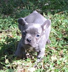 AKC BLUE Velvet MINI FRENCHIE, Female ,French Bulldog Puppy.$5000.00