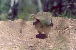 Malleefowl at Mound