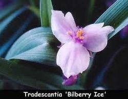 Tradescantia Bilberry Ice