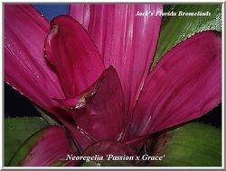 Neoregelia 'Passion x Grace' (cultivar)