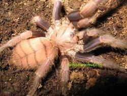 Chilobrachys fimbriatus